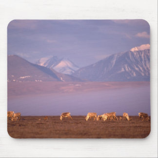 Barren ground caribou, Porcupine herd on calving Mouse Pad