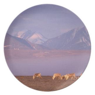 Barren ground caribou, Porcupine herd on calving Plate