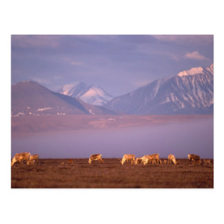 Barren ground caribou, Porcupine herd on calving Post Cards
