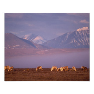 Barren ground caribou, Porcupine herd on calving Poster