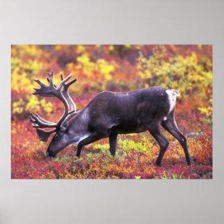 Barren-ground Caribou Poster