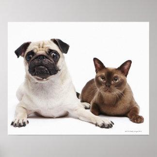 Barro amasado y gato birmano póster