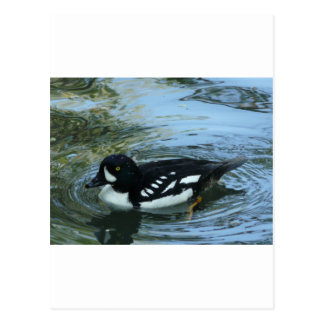 Barrows goldeneye postcard