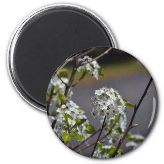 Bartlett Pear Tree Flowers 2 Inch Round Magnet