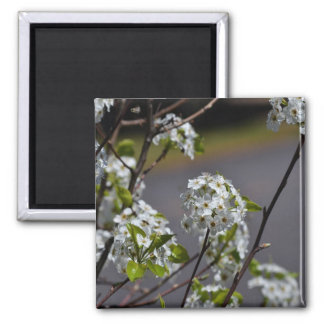Bartlett Pear Tree Flowers 2 Inch Square Magnet