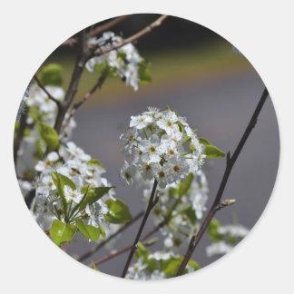Bartlett Pear Tree Flowers Classic Round Sticker