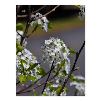 Bartlett Pear Tree Flowers Postcard