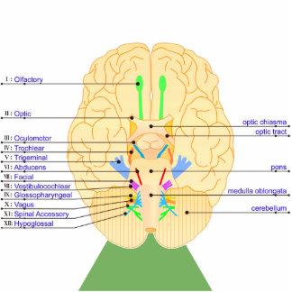 base del inglés de la imagen del cerebro escultura fotografica