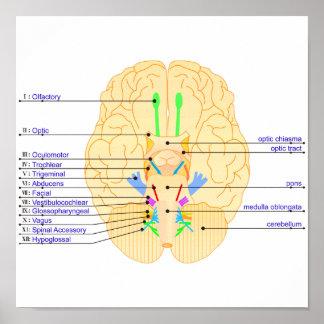 base del inglés de la imagen del cerebro impresiones