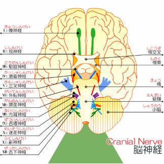 base del japonés de la imagen del cerebro (furigan esculturas fotograficas
