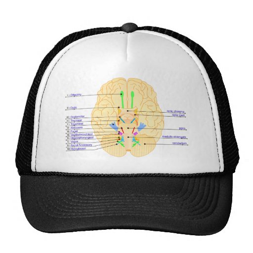 base of brain picture english hats