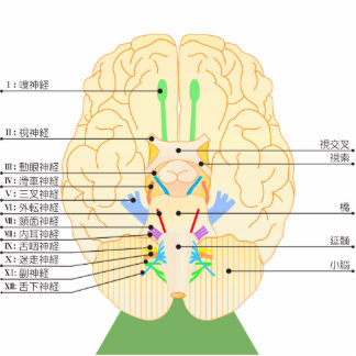 base of brain picture japanese cutout