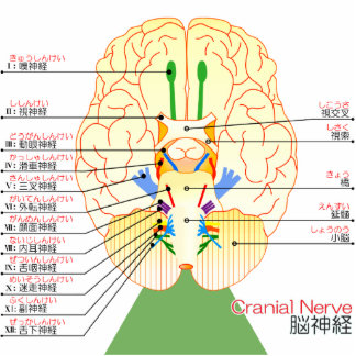 base of brain picture japanese(furigana) cutout
