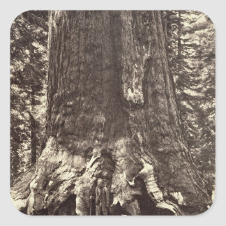 Base of the Grizzly Giant, from 'The Yosemite Book Square Sticker