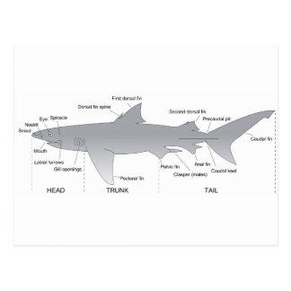 Basic Diagram of a Shark Selachimorpha Postcard