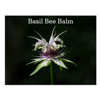 Basil Bee Balm Bergamot Name Wildflower Postcard