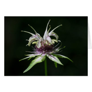 Basil Bee Balm White Bergamot Wildflower Card