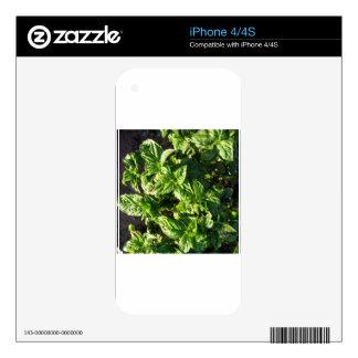 Basil cultivated in open field iPhone 4 skin