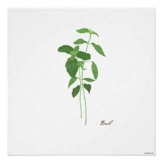 Basil Stem Illustration |  Herb Botanical Print
