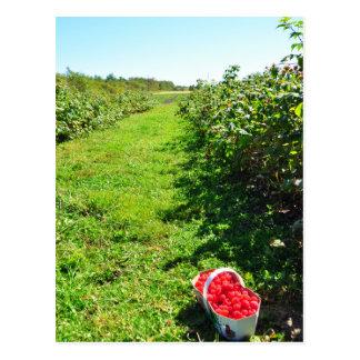 Basket of Red Raspberries Levis Quebec Postcard