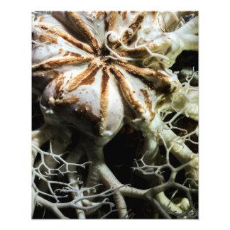 Basket Star (Gorgonocephalus eucnemis) - Fine Art Photo Print
