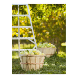 Baskets of apples in orchard postcard