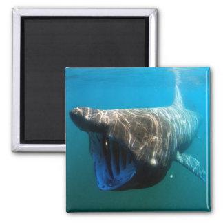 Basking shark 2 inch square magnet