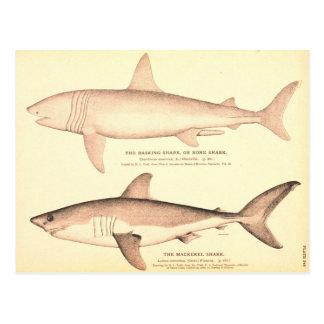 Basking Shark and Mackerel Shark Postcard