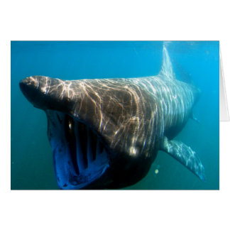 Basking shark (Cetorhinus maximus) Greeting Card