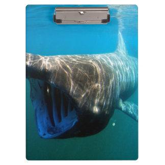 Basking shark (Cetorhinus maximus) Clipboard