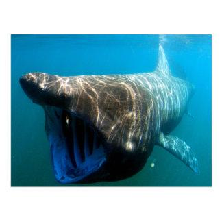 Basking shark (Cetorhinus maximus) Postcard