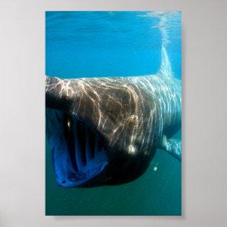 Basking shark (Cetorhinus maximus) Print