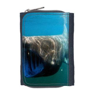 Basking shark (Cetorhinus maximus) Wallets