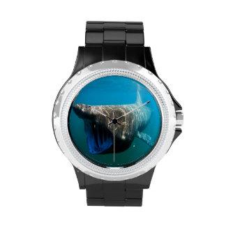 Basking shark (Cetorhinus maximus) Watch