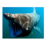 Basking shark postcards