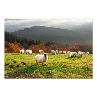 basque country latxa sheep photo print