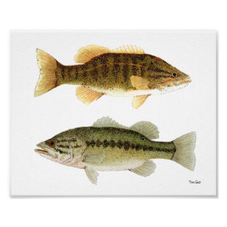 Bass- Smallmouth & Largemouth Bass Art Poster