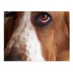 Basset Hound Dog Postcard