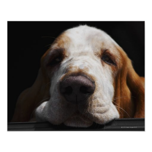 Basset Hound que descansa su cabeza Impresiones