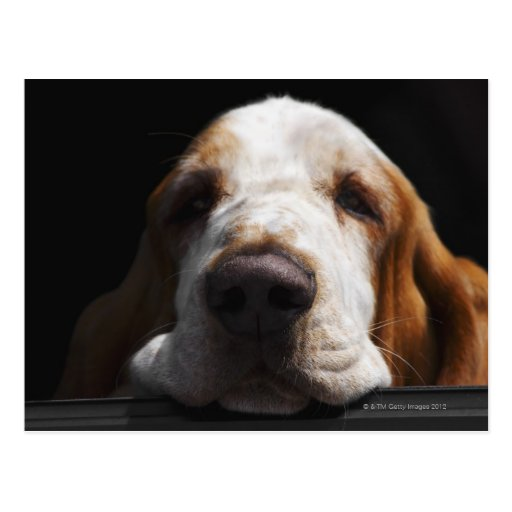 Basset Hound que descansa su cabeza Tarjetas Postales