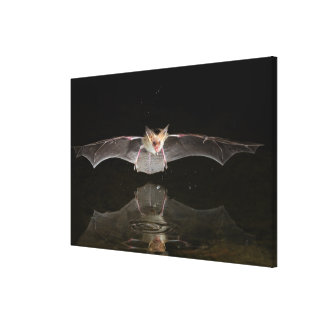 Bat drinking in flight, Arizona Canvas Print