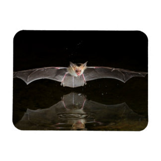 Bat drinking in flight, Arizona Magnet