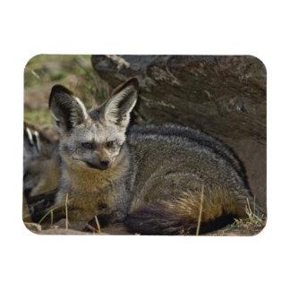 Bat-eared Fox, Otocyon megalotis, Masai Mara Magnet