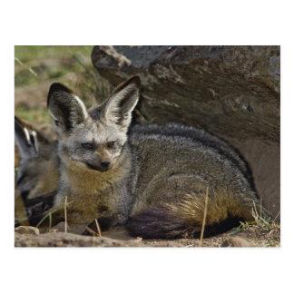 Bat-eared Fox, Otocyon megalotis, Masai Mara Postcard