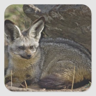 Bat-eared Fox, Otocyon megalotis, Masai Mara Square Sticker