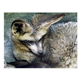 Bat Eared Fox Photo Closeup Kansas City Zoo Postcard