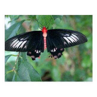 Bat Wing Butterfly Post Card