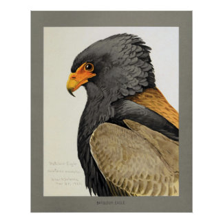 Bateleur Eagle Póster