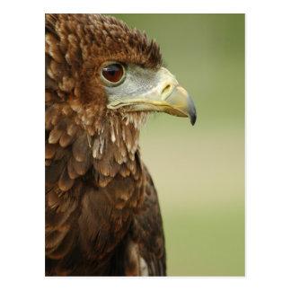 Bateleur Eagle Terathopius Ecaudatus Post Cards