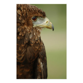Bateleur Eagle Terathopius Ecaudatus Poster